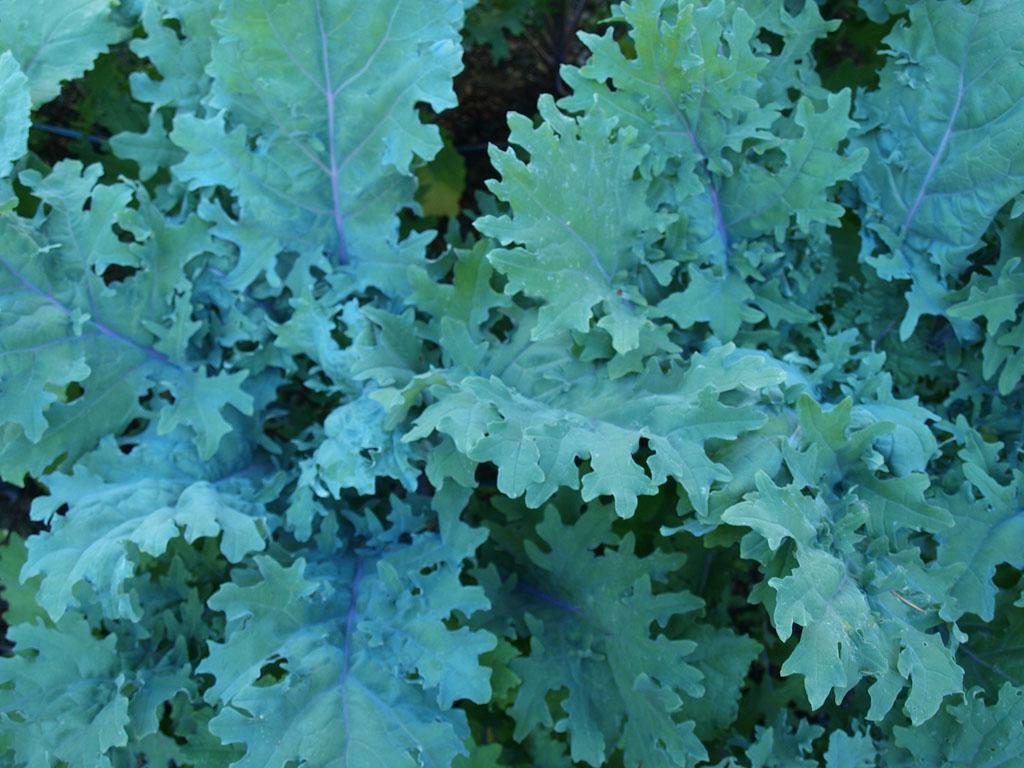 Kale, Siberian                                             / Russian